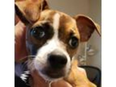 Adopt Shiloah a Tan/Yellow/Fawn - with Black Jack Russell Terrier / Terrier