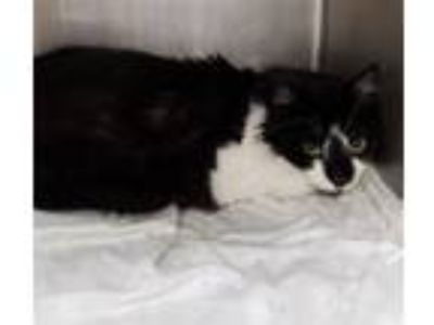 Adopt Floppy a Domestic Longhair / Mixed cat in Portsmouth, VA (25289049)