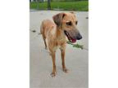 Adopt Fawn a Tan/Yellow/Fawn Greyhound / Mixed dog in Naperville, IL (25297852)