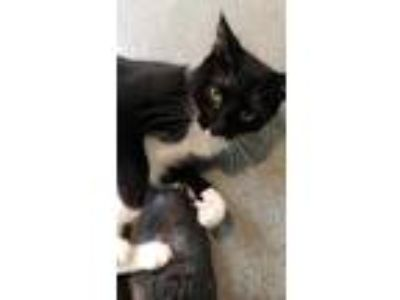 Adopt Marilyn a All Black Domestic Shorthair / Domestic Shorthair / Mixed cat in