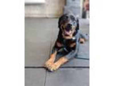 Adopt Daisy a Brown/Chocolate - with Black Rottweiler / Mixed dog in Los