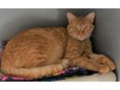 Adopt Arkady a Orange or Red Tabby Domestic Shorthair (short coat) cat in Silver