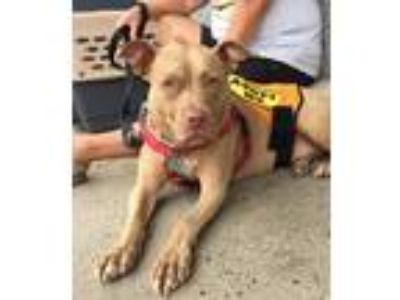 Adopt Honey a Tan/Yellow/Fawn - with White Pit Bull Terrier / Mixed dog in