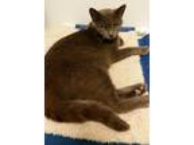 Adopt Bella Gray a Gray, Blue or Silver Tabby Domestic Shorthair (short coat)