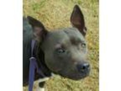 Adopt Pippa a American Staffordshire Terrier