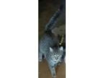 Adopt Gray a Gray or Blue Domestic Mediumhair cat in Roseville, MI (25285638)