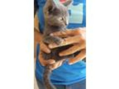 Adopt Dolly a Russian Blue