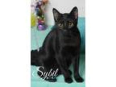 Adopt Sybil a All Black Domestic Shorthair / Domestic Shorthair / Mixed cat in