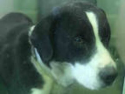 Adopt BIRDIE a Black - with White St. Bernard / Mixed dog in Dallas