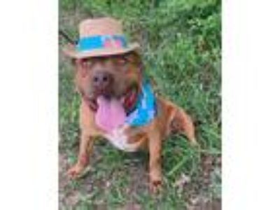Adopt Hagrid a Red/Golden/Orange/Chestnut - with White American Pit Bull Terrier