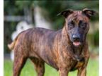 Adopt Mimi a Tricolor (Tan/Brown & Black & White) Dutch Shepherd / Mixed dog in