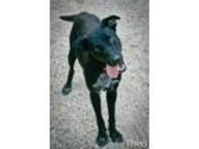 Adopt Theo a Labrador Retriever, Border Collie
