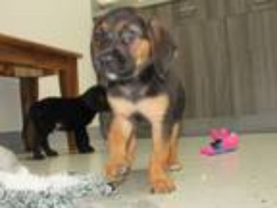 Adopt Bloodhound puppies a Bloodhound, Labrador Retriever