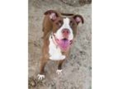 Adopt SWEETPEA a Brown/Chocolate - with White American Pit Bull Terrier / Mixed