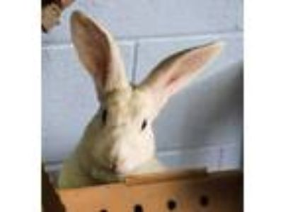 Adopt CHESS a White Other/Unknown / Mixed rabbit in Waterford, VA (25345626)