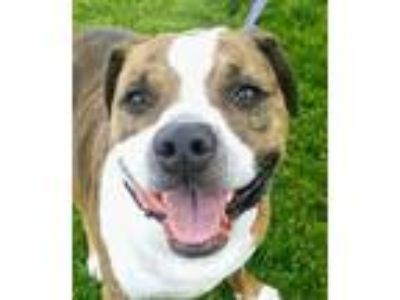 Adopt Links a Brown/Chocolate Mixed Breed (Large) / Mixed dog in Blackwood