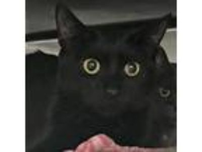 Adopt Tic a All Black Domestic Shorthair / Domestic Shorthair / Mixed cat in