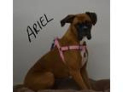 Adopt Ariel a Tan/Yellow/Fawn - with Black Boxer / Mixed dog in Lebanon