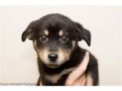 Adopt Jon a Australian Cattle Dog / Blue Heeler