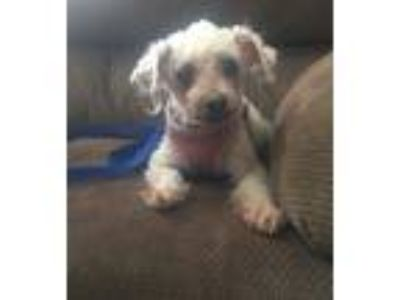 Adopt Sophie a White Poodle (Miniature) / Mixed dog in Poughkeepsie