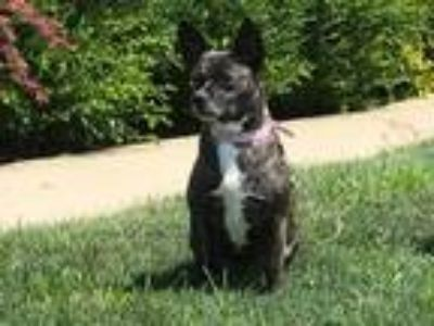 Adopt Bethann a Brindle - with White Terrier (Unknown Type