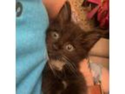 Adopt Beefy 2333 a All Black Domestic Longhair cat in Columbus, GA (25337658)
