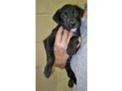 Adopt Veronica a Black - with White Labrador Retriever / Pit Bull Terrier /