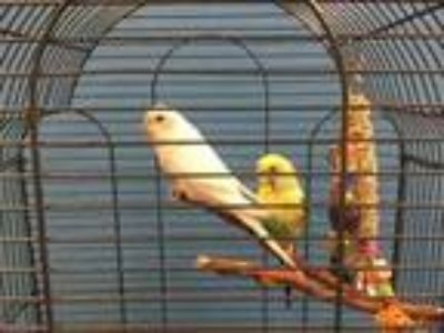 Adopt Coconut a White Parakeet - Other / Parakeet - Other / Mixed bird in St.
