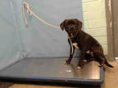 Adopt BEAR a Black - with White Beagle / Labrador Retriever / Mixed dog in