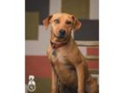 Adopt Cammie a Red/Golden/Orange/Chestnut Catahoula Leopard Dog / Labrador
