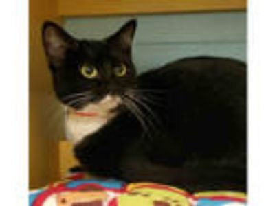 Adopt CATNESS a Black & White or Tuxedo Domestic Shorthair / Mixed (short coat)