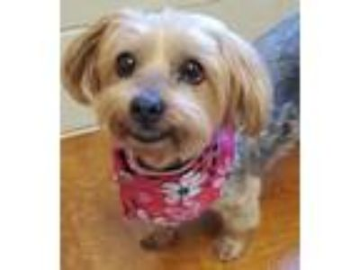 Adopt ROXY a Yorkshire Terrier