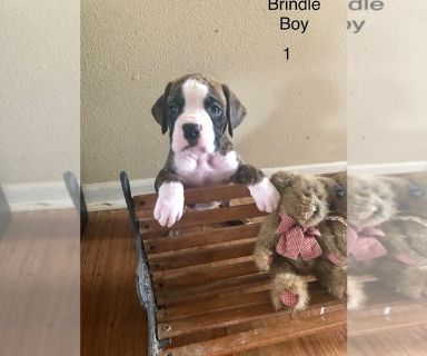 Boxer PUPPY FOR SALE ADN-127947 - Boxer Puppies