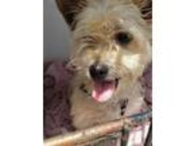 Adopt Rocko a Tan/Yellow/Fawn Cairn Terrier / Mixed dog in Philadelphia