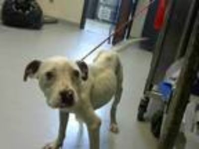 Adopt a White American Pit Bull Terrier / Mixed dog in Fayetteville