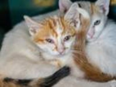 Adopt BIRCH a White (Mostly) Domestic Shorthair / Mixed (short coat) cat in