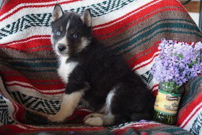 Siberian Husky PUPPY FOR SALE ADN-94841 - AKC Siberian Husky For Sale Male Cooper