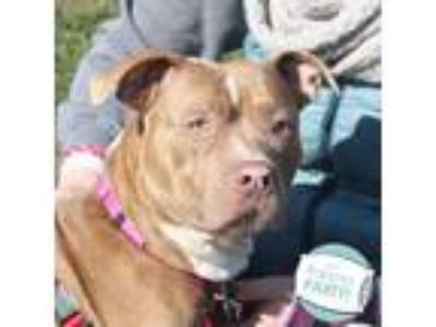 Adopt Mattea a Tan/Yellow/Fawn American Pit Bull Terrier / Mixed dog in Ann
