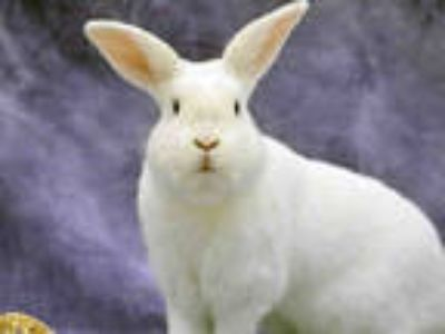 Adopt PAPPY a White Other/Unknown / Mixed rabbit in Anchorage, AK (25347308)