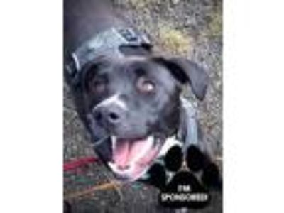 Adopt REMY a Black American Pit Bull Terrier / Labrador Retriever / Mixed dog in