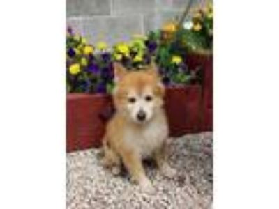 Adopt Sweet Pea a Red/Golden/Orange/Chestnut Pomeranian / Mixed dog in Jackson