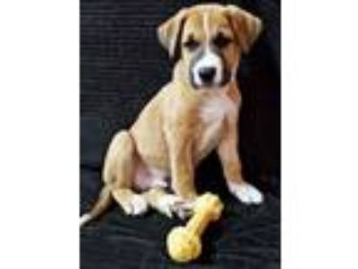 Adopt Zende a Tricolor (Tan/Brown & Black & White) German Shepherd Dog / Boxer /