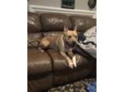 Adopt Astro a Tan/Yellow/Fawn American Staffordshire Terrier / American Pit Bull