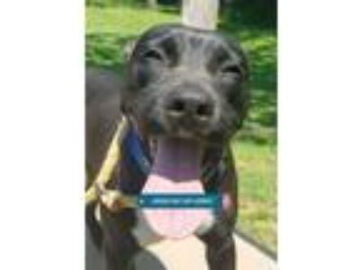 Adopt MARKUS a Labrador Retriever, Mixed Breed