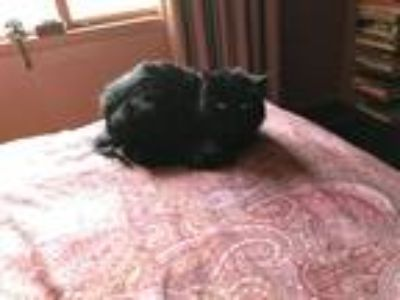 Adopt Tomany a All Black American Shorthair / Mixed cat in Canoga Park