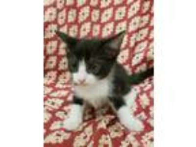 Adopt Ninja - Foster needed (Too small) a All Black Domestic Shorthair /