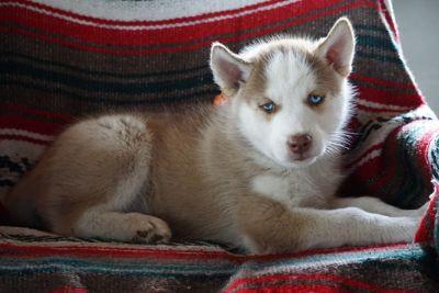 Siberian Husky PUPPY FOR SALE ADN-94839 - AKC Siberian Husky For Sale Male Buddy