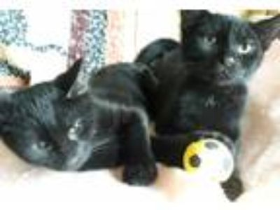 Adopt Jagger and Seger a All Black Domestic Shorthair (short coat) cat in