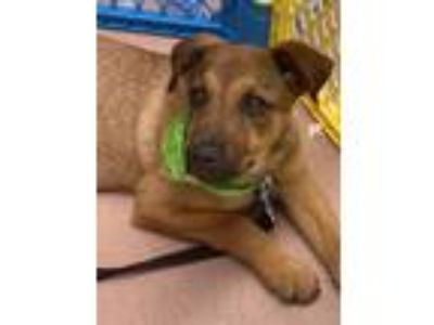 Adopt Magic a Shepherd, Labrador Retriever
