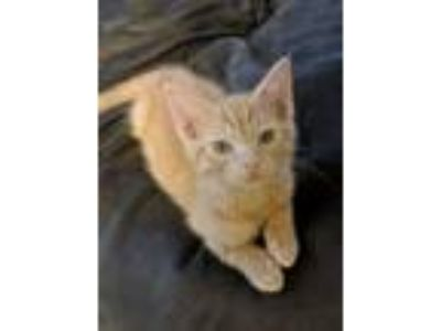 Adopt Goose -- KITTEN - 13 WEEKS a Tabby, Domestic Short Hair